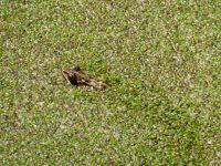 41.-Frosch-in-einer-Klaergrube-bei-Netzen