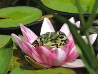 026.-Frosch-in-Seerose